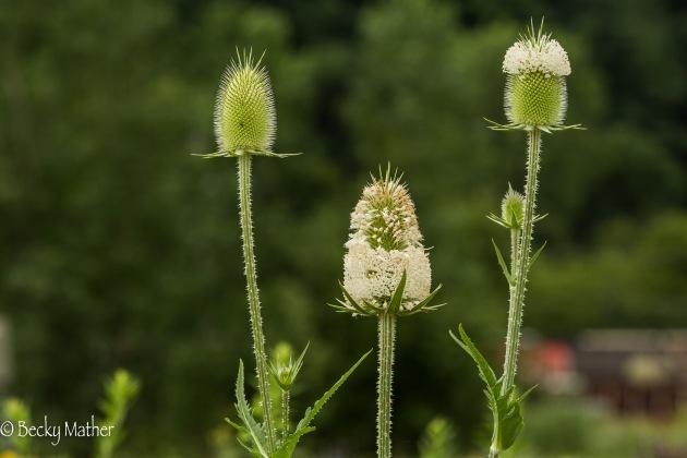 wildflowers-7